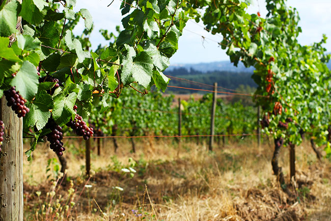 at the table cooper mountain vineyard
