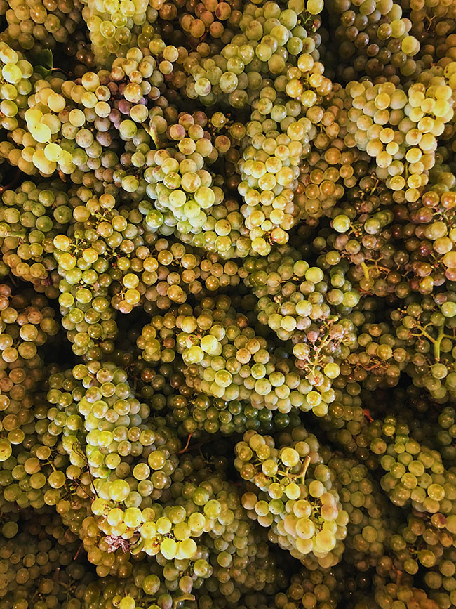 overhead photo of a pile of green grapes
