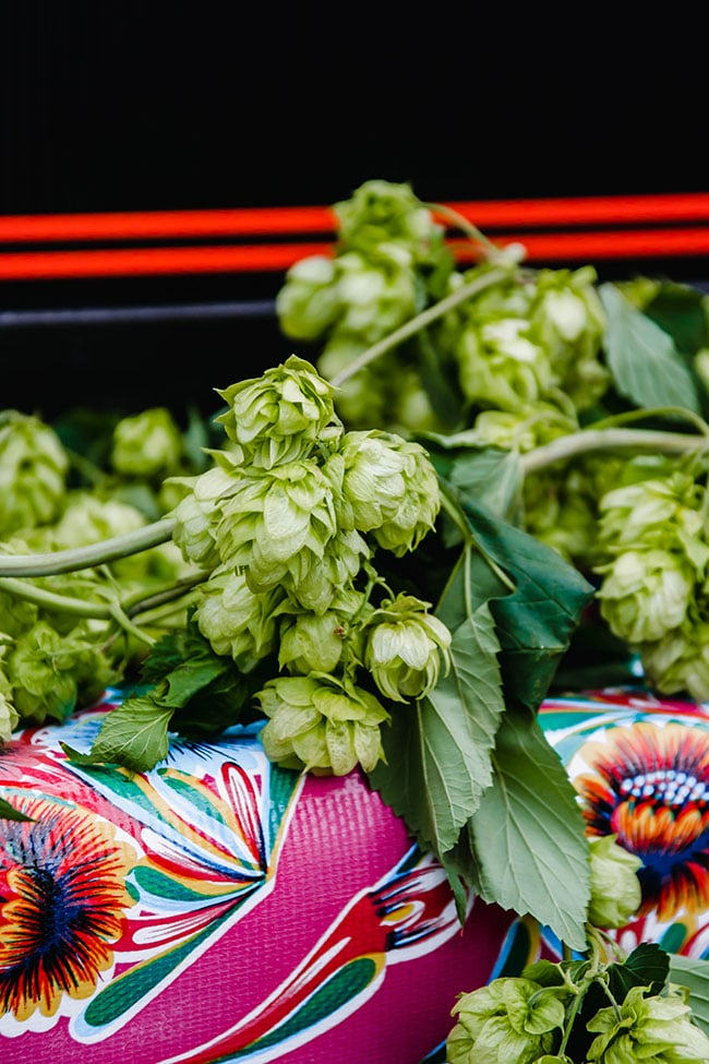 fresh hops in front of a cooler of beer