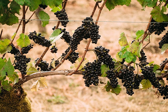 pinot noir grapes hanging from a vine in an Oregon vineyard